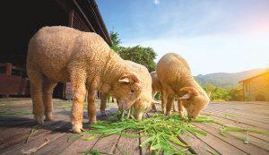livestock nutrition vitamins minerals sheep