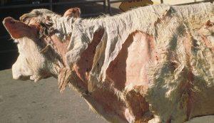 sunburn cows cattle cow photosensitization