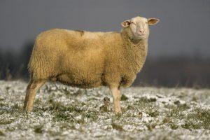 livestock milking sheep