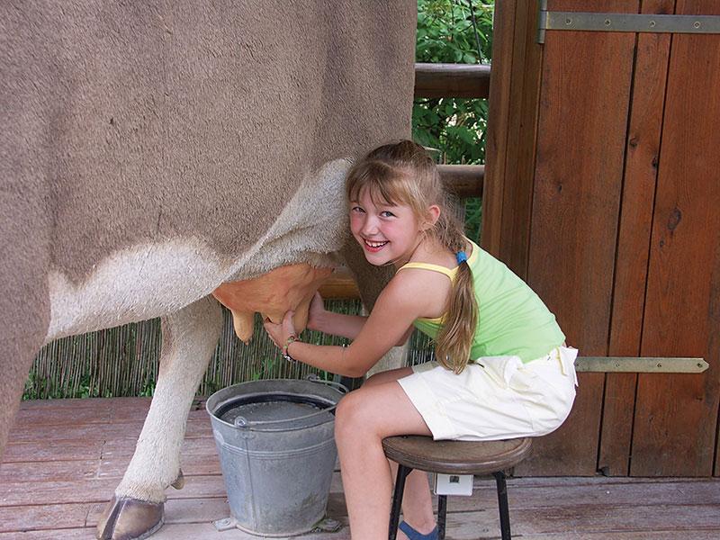 livestock milking cow