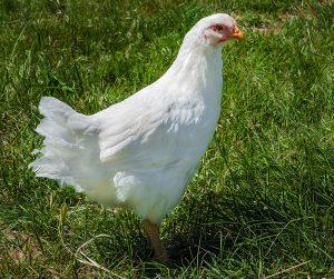 plymouth rock chicken breed hen white