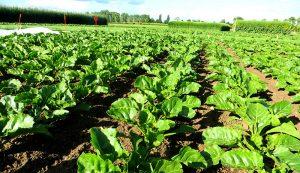 sugarbeets vegetables successful crop crops