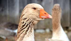 waterfowl poultry farming ducks geese
