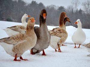 Kirsten Lie-Nielsen poultry farming ducks geese