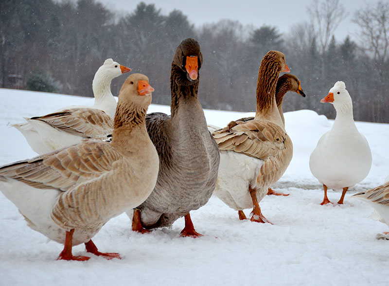 poultry farming ducks geese