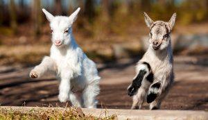 play playing animals goats kids