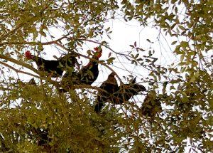 ybor city chickens roosting