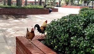 ybor city chickens