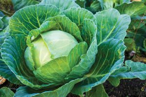 cabbage long-term storage produce