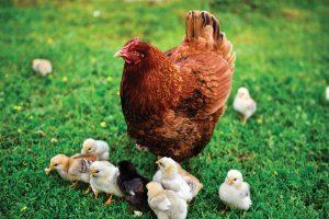 chickens hen chicken chicks