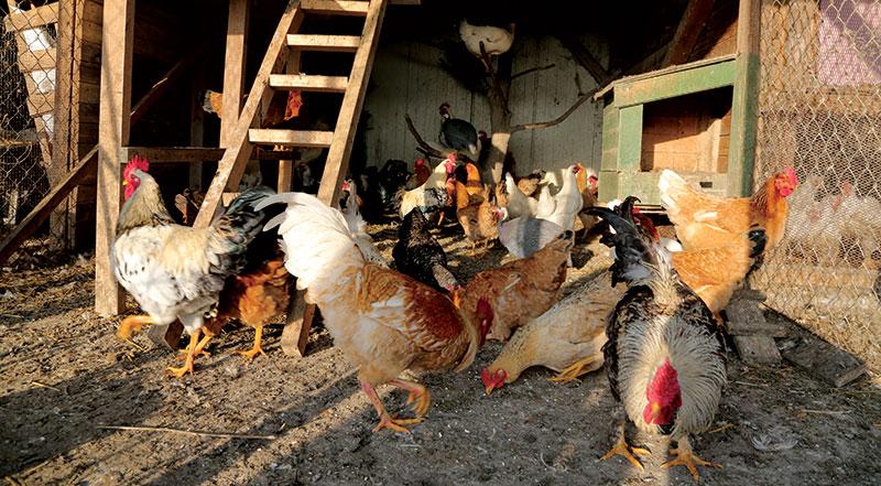 chickens run coop