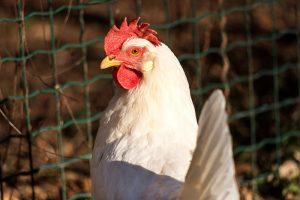 Shutterstock chicken breeds white leghorn hen