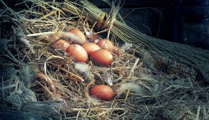 eggs chickens safe eat