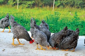 barred plymouth rock heritage breed chickens breeds