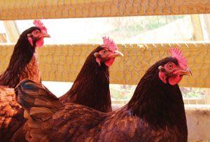 rhode island red Shutterstock heritage breed chickens breeds