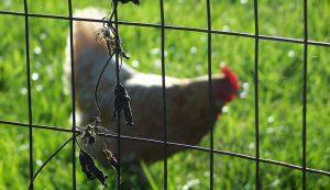 chicken corral