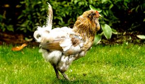 laying hens chicken hen feathers scruffy molting