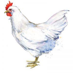 chicken breeds white leghorn