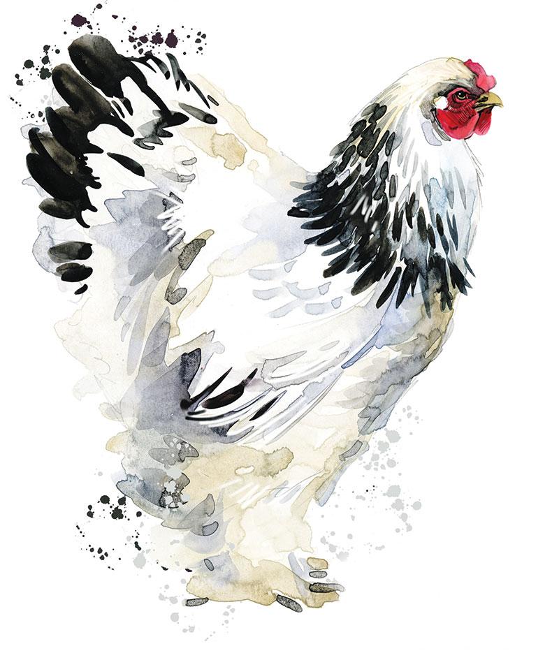 chicken breeds brahma