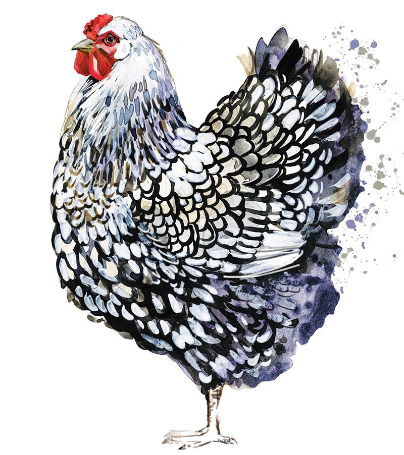 chicken breeds wyandotte