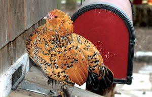 chicken anatomy health crop