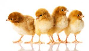 chicks chicken breeds