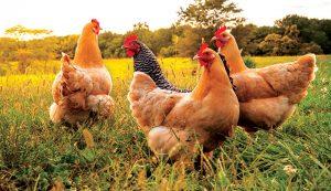 chickens temperature