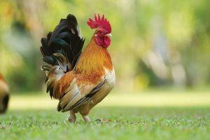 Shutterstock chickens temperature