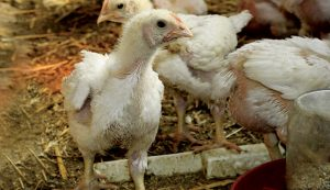 chickens broilers chicks pullets cockerels