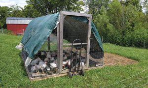 chicken chickens off-grid meat