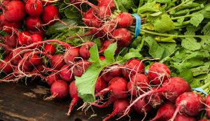 early spring crops radishes