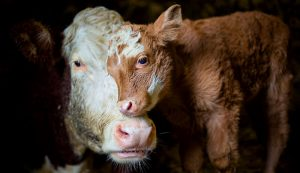 cow calf surgery c-section