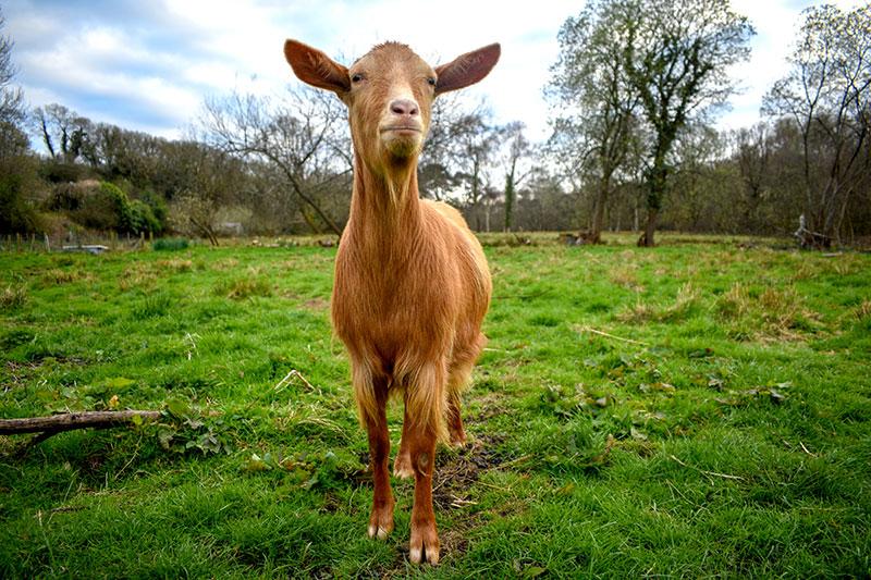 goat breeds golden guernsey