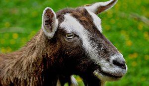 goat breeds toggenburg