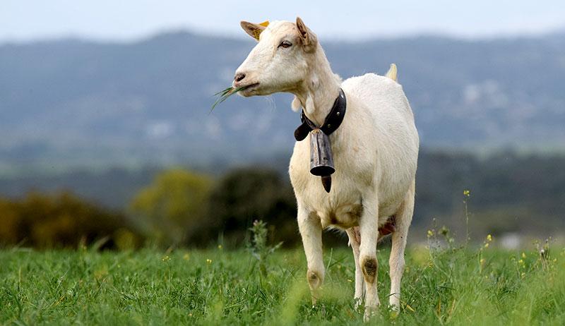 goat breeds spanish