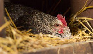 broody hen chicks eggs chickens