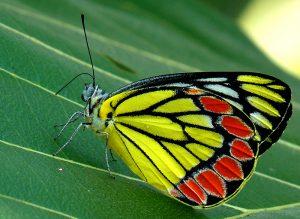 butterflies butterfly sulphur