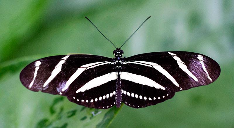 zebra longwing butterfly butterflies