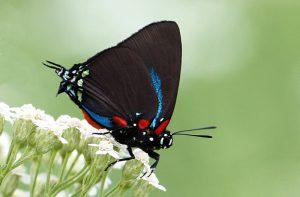 great purple hairstreak butterfly butterflies