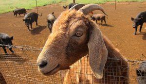 co-pasturing animals goats pigs livestock animals