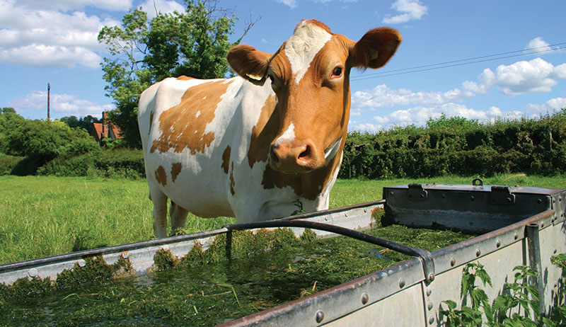 algae cattle livestock water tank trough