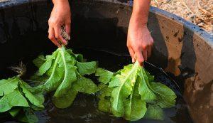 wash area farm vegetables
