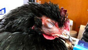 chicken emergencies injuries illnesses