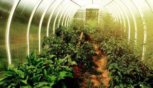 caterpillar tunnel greenhouse growing gardening crops