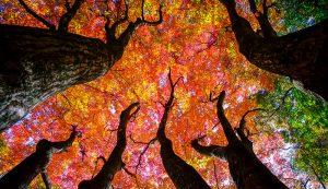 maple trees landscape problem