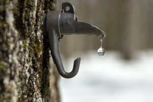 maple tree syrup tap