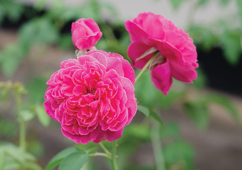 herbs rosa damascena