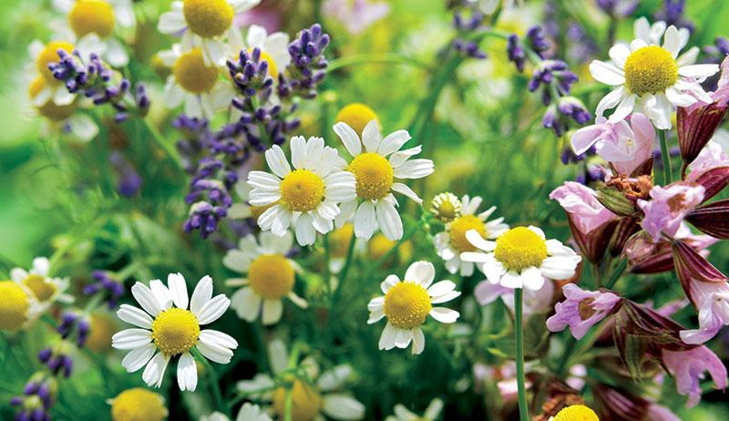 herbs chamomile