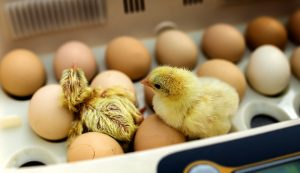 custom hatching business chicks chickens hatchery