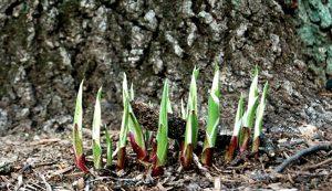 hostas leafy greens